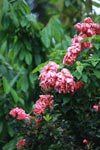 Pink flowers of Rubiaceae: Mussaenda (coffee family)