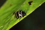 Pleasing fungus beetle (Erotylidae family) with a black and yellow zig zag pattern [colombia_0102]
