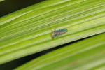 Multi-colored leaf-hopper