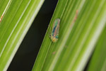 Orange-eyed, green, brown, and yellow leaf-hopper