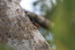 Amazon thornytail (Uracentron flaviceps)
