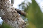 Thornytail canopy iguana (Uracentron flaviceps) [colombia_0278]