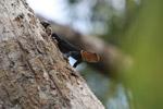 Thornytail canopy iguana (Uracentron flaviceps) [colombia_0279]
