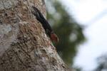 Thorny tailed canopy iguana (Uracentron flaviceps)