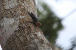 Thornytailed canopy iguana (Uracentron flaviceps)