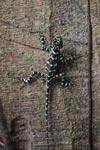 Harlequin Iguana (Plica plica)