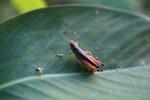 Grasshopper [colombia_0406]