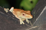 Tree frog (Osteocephalus planiceps)
