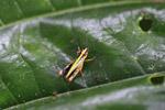 Grasshopper [colombia_0454]