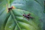 Grasshopper [colombia_0469]