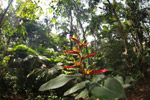Bird of Paradise in the Amazon rainforest