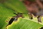 Grasshopper [colombia_0513]