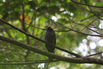 Black-fronted Nunbird (Monasa nigrifrons) [colombia_0516]