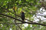 Black-fronted Nunbird (Monasa nigrifrons) [colombia_0518]