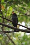 Black-fronted Nunbird (Monasa nigrifrons) [colombia_0521]