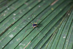 Spider-like harvestman