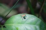 Orange, metallic green, and black assassin bug [colombia_0565]