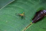 Lime green, turquoise, yellow, and orange grasshopper [colombia_0610]