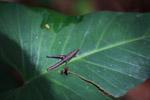 Grasshopper [colombia_0618]