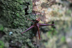 Maroon grasshopper