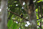 Golden-headed Manakin (Pipra erythrocephala)