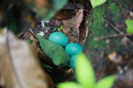 Turquoise bird eggs in the Amazon