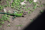 Amazon race runner (Ameiva ameiva)