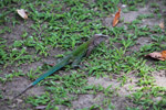 Amazon rainbow lizard (Ameiva ameiva)