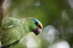 Festive Amazon (Amazona festiva)