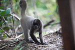 Common woolly monkey (Lagothrix lagotricha) [colombia_0769]