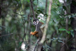 Common Squirrel Monkey (Saimiri sciureus) [colombia_0778]