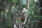 Common Squirrel Monkey (Saimiri sciureus) [colombia_0781]