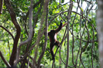 Common woolly monkey (Lagothrix lagotricha) [colombia_0784]