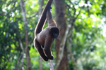 Common woolly monkey (Lagothrix lagotricha) [colombia_0787]