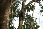 Monk Saki (Pithecia monachus) [colombia_0793]