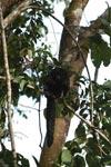Monk Saki (Pithecia monachus) [colombia_0794]