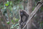 Common woolly monkey (Lagothrix lagotricha) [colombia_0796]