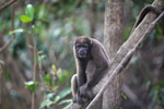 Common woolly monkey (Lagothrix lagotricha)