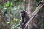 Common woolly monkey (Lagothrix lagotricha) [colombia_0799]