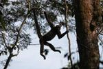Common woolly monkey (Lagothrix lagotricha) [colombia_0817]
