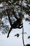 Common woolly monkey (Lagothrix lagotricha) [colombia_0818]