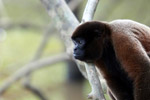 Common woolly monkey (Lagothrix lagotricha) [colombia_0828]