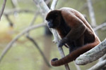 Common woolly monkey (Lagothrix lagotricha) [colombia_0830]