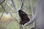 Common woolly monkey (Lagothrix lagotricha) [colombia_0840]