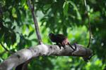 Brown-mantled Tamarin (Saguinus fuscicollis) [colombia_0848]
