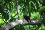 Saddleback Tamarin (Saguinus fuscicollis)