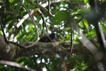 Saddle-back Tamarin (Saguinus fuscicollis)