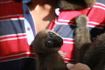 Common woolly monkey at a rehabiltiation center for animals trafficked for the pet trade