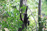 Common woolly monkey (Lagothrix lagotricha) [colombia_0889]