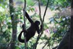 Baby woolly monkey (Lagothrix lagotricha) [colombia_0890]